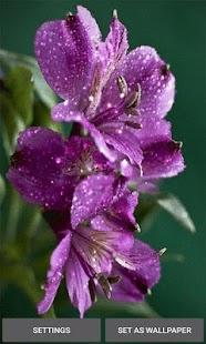 Purple Flowers Shine LWP - náhled