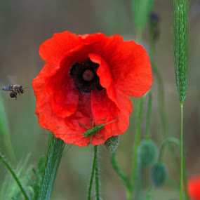 A Busy spot  by Stoyan Baev - Flowers Single Flower ( close up, bee, poppy, nature, insects, flower )