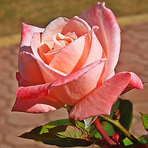 rose hag 1_Fotor.jpg