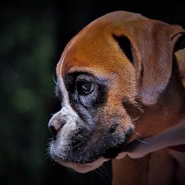 Cute Pup by Sue Delia - Animals - Dogs Puppies ( boxer, puppy, baby, cute, dog,  )
