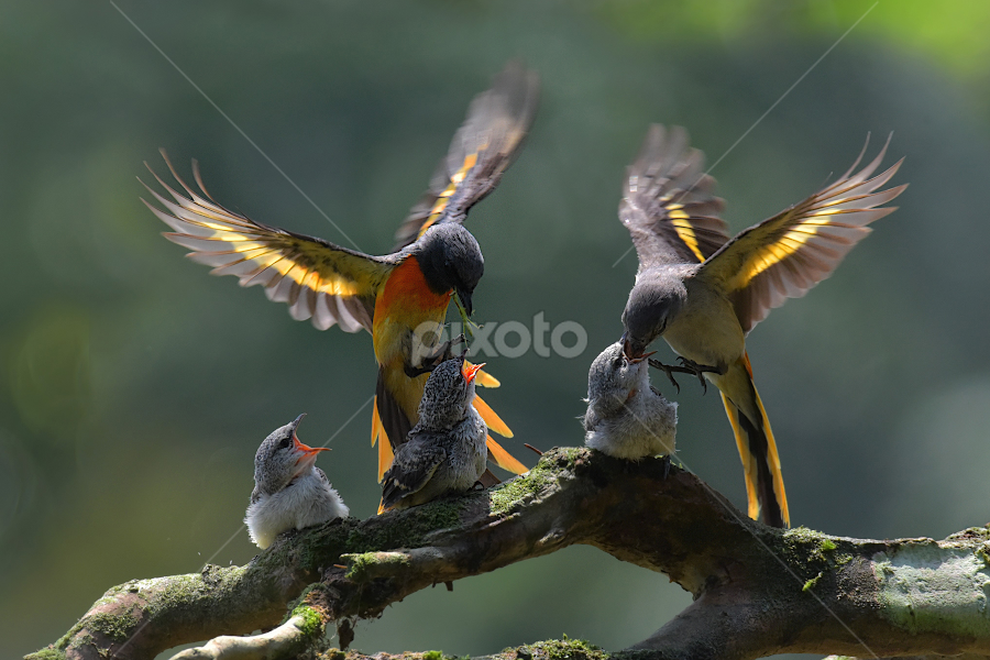 Mantenan Birds (Pericrocotus cinnamomeus) by Ajar Setiadi - Animals Birds ( couple, feeding, animal, birds, chick )
