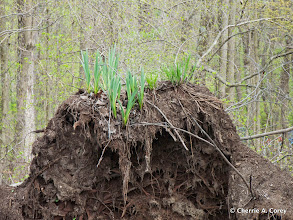 Photo: Cattails upended, 4.25.10