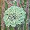 Treeflute lichen