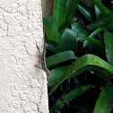Brown Anole ( One Reptile )