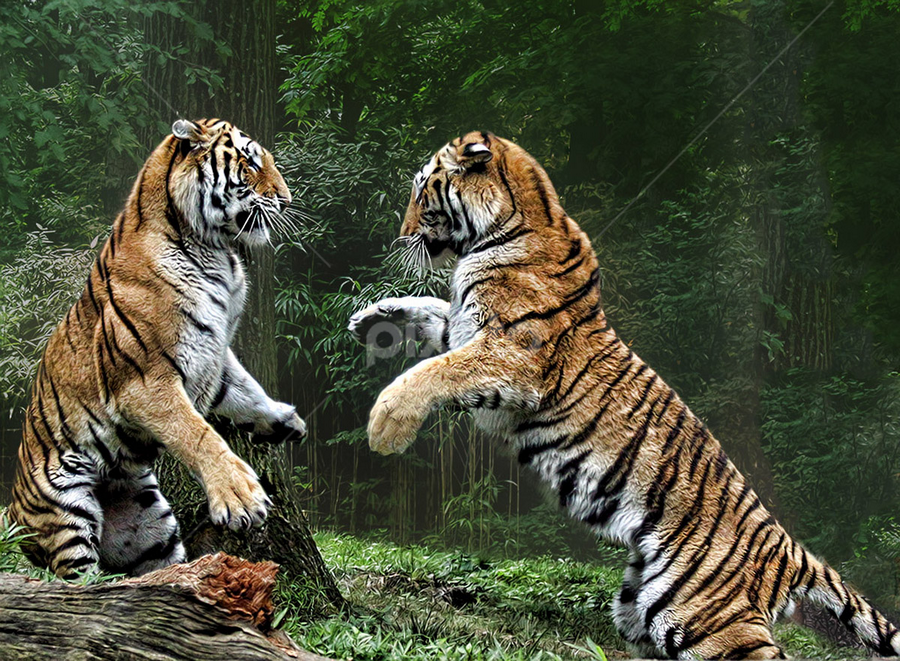 Bring it On! by John Larson - Animals Lions, Tigers & Big Cats (  )