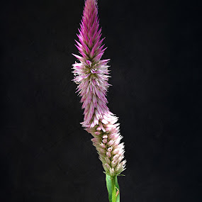 Spike by Sharon Pierson - Nature Up Close Flowers - 2011-2013 ( lighting, pink, flower, nature, flowers )