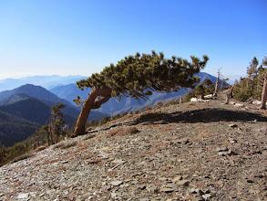 Photo: Limber pine on the northeast flank of Dawson Peak