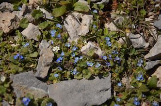 "Photo: Myosotis ramosissima BORAGINACEAE Από την κορυφή της Τσίβης (1664μ.)  Μυοσωτίς η πολύκλαδος.Στον υπόλοιπο κόσμο είναι γνωστό με το όνομα ""μη με λησμονείς"" (Early Forget-me-not).Είναι μικρό φυτό με φωτεινά μπλε λουλούδια,(στην Τσίβη το φυτό είχε και λευκά άνθη), που συχνά κρύβονται στα φύλλα και αργότερα επεκτείνονται σε ένα στέλεχος με αρκετά άλλα. Τα φύλλα και οι μίσχοι είναι πυκνά τριχωτά, μερικές φορές με ένα πορφυρό χρώμα, ειδικά όταν ο καιρός είναι κρύος.Είναι λουλούδι που ανθίζει τον Μάρτιο. Στα βρετανικά νησιά θεωρείται ένας από τους προάγγελους της Άνοιξης."