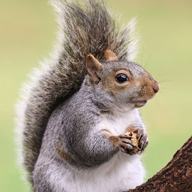 by Kathy Jean - Animals Other Mammals ( squirrel, mammal, grey squirrel, animal, side view of standing squirrel )
