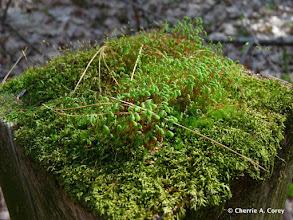 Photo: Mosses reproducing