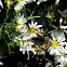 Western honey bee and Daisies