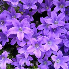 Campanula by Viive Selg - Flowers Flower Gardens