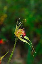 Photo: Caladenia procera?