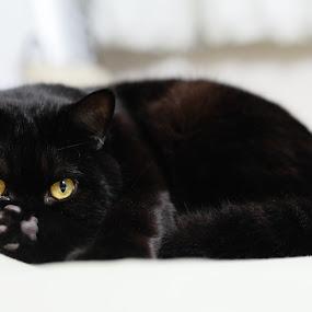 Yoda by Felipe Mairowski - Animals - Cats Kittens ( cat, black cat )