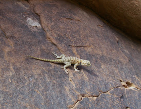 Photo: Young spiny lizard.
