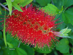 Photo: Callistemon citrinus: Red Bottlebrush Tony Provenzano
