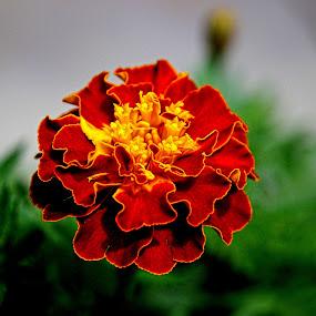 Red Flower by Benyamin Kristiawan - Nature Up Close Flowers - 2011-2013 ( red, red flower, nature, natural, flower )