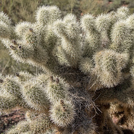 Thorny Cactus by Ruth Sano - Nature Up Close Other plants ( thorn, arizona, cactus, desert, pipe organ cactus national park,  )
