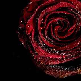 Deep rose by Danny Charge - Flowers Single Flower ( red, waterdrop, rosebud, black, single flower, rose, water, flower, water drops )