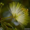 lebbeck, lebbek tree, flea tree, frywood, koko and woman's tongues tree