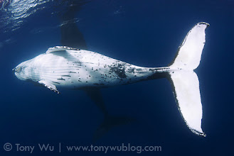 Photo: Courting humpback whales: the white one in front is the male, the whale spyhopping in the background is the female.