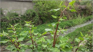 Photo: Turda, Paraul Racilor zona la Str. Mihai Eminescu, Iulisca, planta deosebit de invaziva  - 2 019.04.17