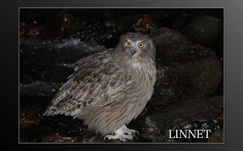 Photo: シマフクロウ  ( Blakiston's Fish-Owl )