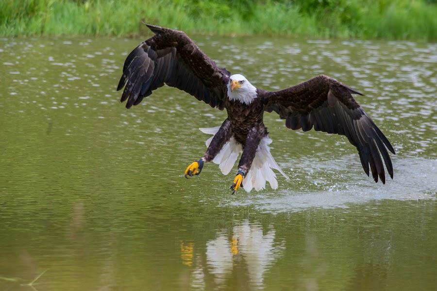 Eagle Water Touchdown by John Cianfarani - Animals Birds ( raptor, occ, birds in flight,  )