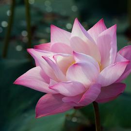 Glamorous by Steven De Siow - Flowers Single Flower ( lotus flower, flower photography, lotus, pink flower, flower,  )