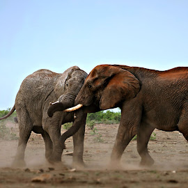 Playing by Pieter J de Villiers - Animals Other
