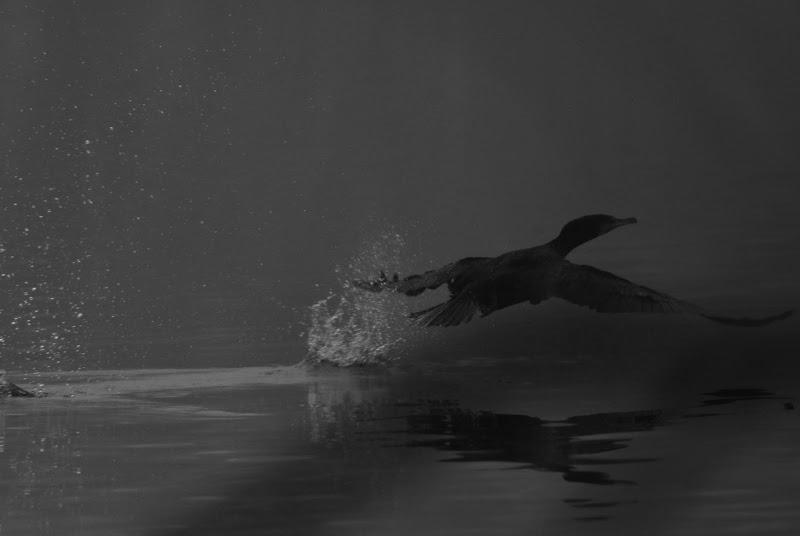 cormorano di balestra