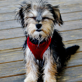 Seremity by Keri Butcher - Novices Only Pets ( morkies, puppies, dogs, pets, puppy, morkie, #GARYFONGPETS, #SHOWUSYOURPETS )