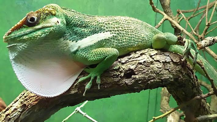 Image result for knight anole