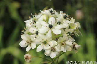 Photo: 拍攝地點: 梅峰-溫帶花卉區 拍攝植物: 伯利恆之星 拍攝日期: 2015_10_27_FY