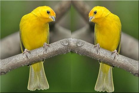 Ocehan Burung Kenari Terbaik - náhled