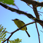 yellow lored Tody flycatcher