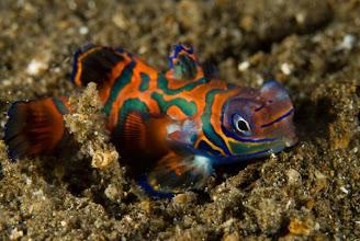 Photo: Mandarin Fish or Dragonets