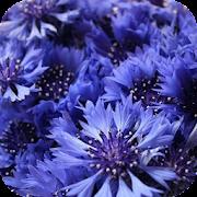 Knapweed Flower Wallpapers