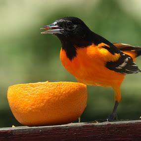Baltimore Oriole by Leslie Hendrickson - Animals Birds ( bird, orange, missouri, baltimore oriole, wildlife,  )