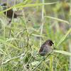 Scaly-breasted Munia (斑文鳥)