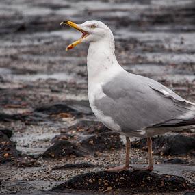 Screaming sea gull  by Patrick Hendrickx - Animals Birds ( pwcmovinganimals )