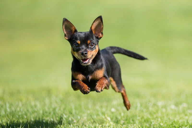 Harga anjing Mini Pincher. Harga Jual beli anjing Minpin di Indonesia