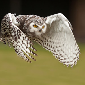 White Owl in Flight.jpg