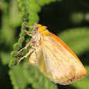 Spiny Bollworm Moth