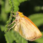Spiny Bollworm Moth