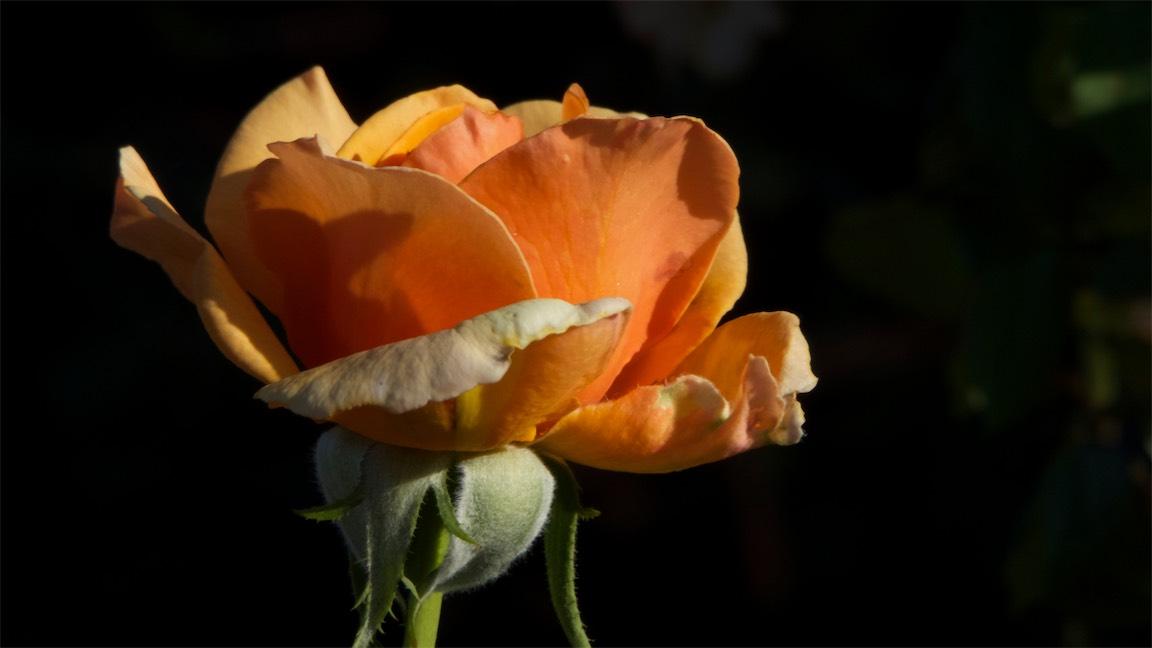 Nice Rose.jpg