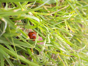Photo: I was gorilla-running through the grass at the park, when I noticed the ladybugs had come out to play, too.