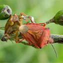 Carpocoris shield bugs mating
