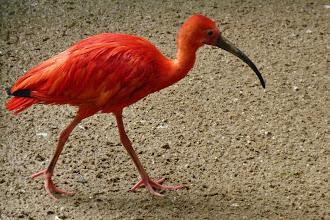 Photo: Roter Sichler od. Scharlachibis (Eudocimus ruber) 2  Verbreitungsgebiet: Küsten von Venezuela bis NO-Braslien