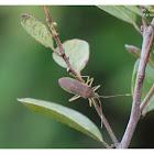 Paradasynus spinosus 刺副黛緣椿